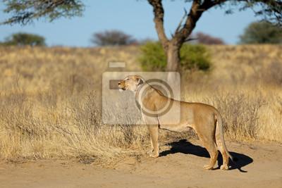 Alert lioness (Panthera leo) in natural habitat, Kalahari desert, South Africa.