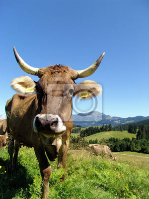 Allgäu Cows 13