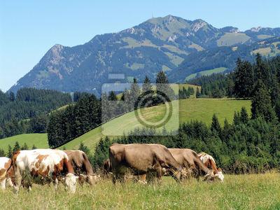 Allgäuer Kühe 10