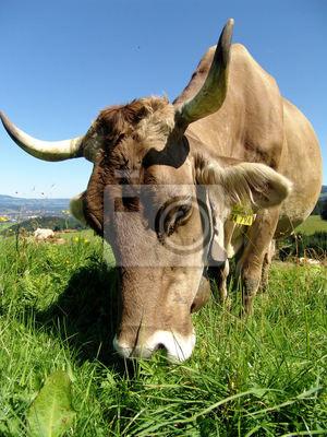 Allgäuer Kühe 12