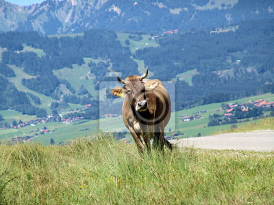 Allgäüer Kühe