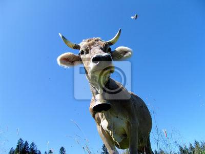 Allgäüer Kühe 5