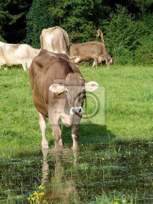 Allgäuer Kühe 51