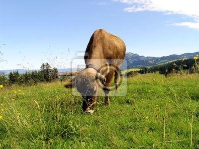 Allgäuer Kühe 55