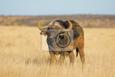 Canvas print An African buffalo (Syncerus caffer) in open grassland, Mokala National park, South Africa.