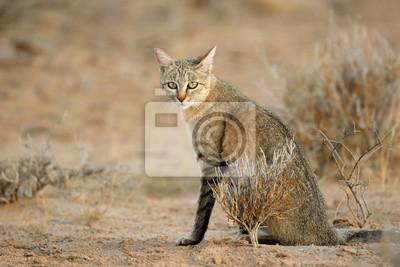 An African wild cat (Felis silvestris lybica), Kalahari desert, South Africa.