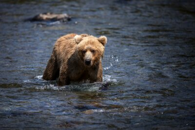 Canvas print An Alaskan brown bear wades through the Brooks River in search of salmon.