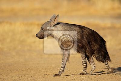 An alert brown hyena (Hyaena brunnea), Kalahari desert, South Africa.