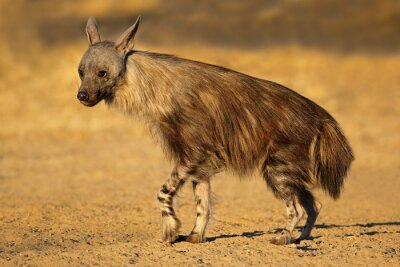 Canvas print An alert brown hyena (Hyaena brunnea), Kalahari desert, South Africa.