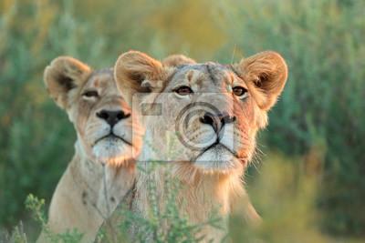 An alert lioness (Panthera leo) looking intently, Kalahari desert, South Africa.