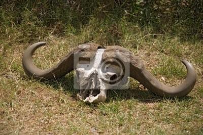 animals 084 buffalo head