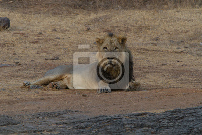 Canvas print  Asiatic Lion  in Gir National Park in Gujarat, India