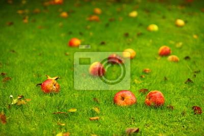 Autumn background, red apples on ground in garden