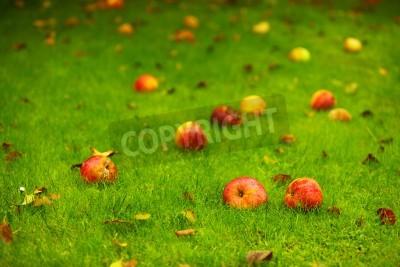 Autumn - fallen red apples on the green grass ground in garden.