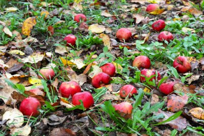 autumn late red apples on the ground among the fallen leaves in the misty early morning