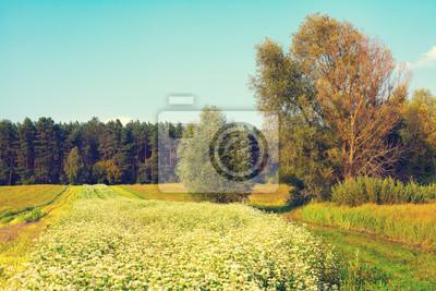 Autumn rural landscape with buckwheat field