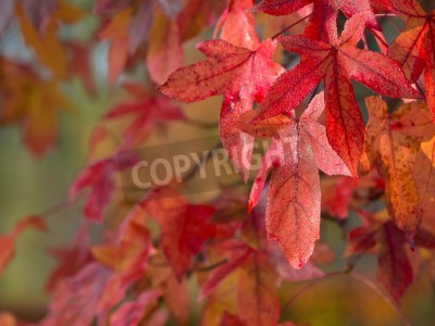 Autumnal colored red maple leaves