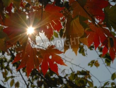 Autumnal sun, red maple leaves