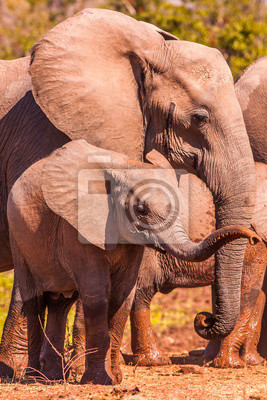 Canvas print Baby African Elephant and mother in the wild