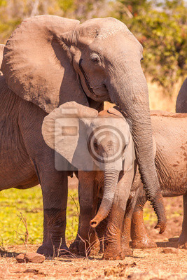 Baby African Elephant and mother in the wild