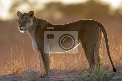 Backlit lioness (Panthera leo)