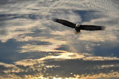 Canvas print Bald Eagle flying over Alaska