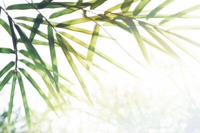Canvas print Bamboos Forest or bamboo foliage and sunlight and space for text