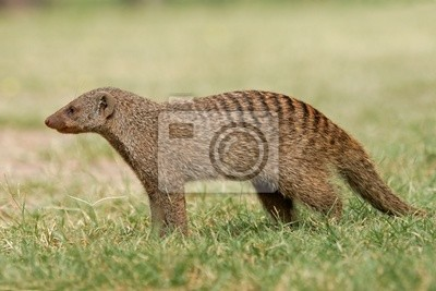 Canvas print banded mongoose