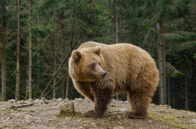 Canvas print Bear is looking for spring in the forest