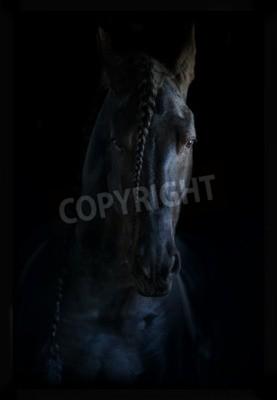 Canvas print beautiful black frisian stallion, portrait on a black