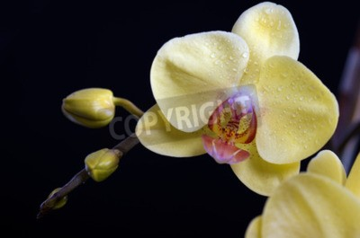 Canvas print Beautiful colorful flower Orchid, phalaenopsis on black background