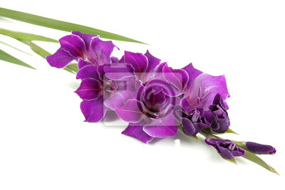 Beautiful gladiolus flower