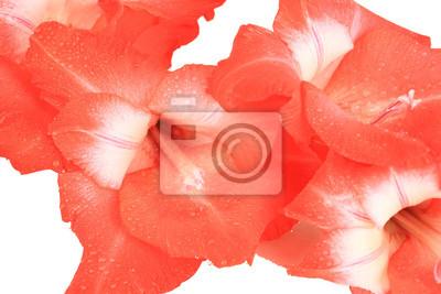 Beautiful gladiolus flower close up