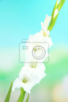 Beautiful gladiolus flower on bright background
