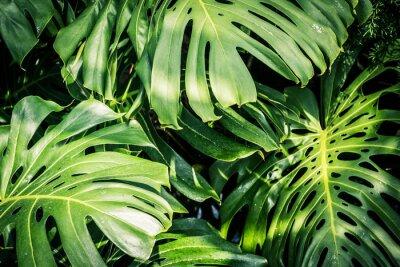 Canvas print Beautiful green tropical leaves Monstera