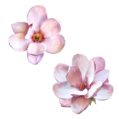 Canvas print beautiful magnolia, Spring flower isolated