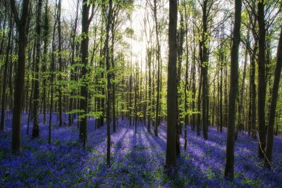 Canvas print Beautiful morning in Spring bluebell forest with sun beams throu