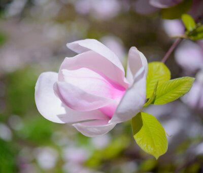 Canvas print Beautiful Pink Magnolia Flowers. Spring Background