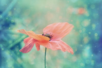 Canvas print Beautiful red poppy in artistic soft colors with bokeh lights