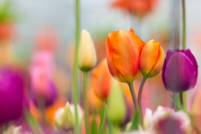 Canvas print Beautiful view of colored tulips.