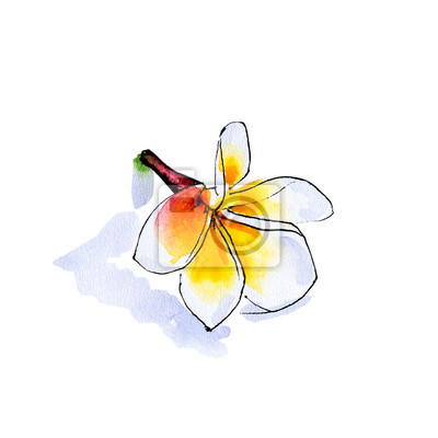 Beautiful white plumeria flower. Frangipani. Watercolor painting. Exotic plant. Floral print. Sketch drawing. Botanical composition. Greeting card. Flower painted background. Hand drawn illustration.