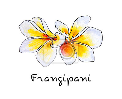 Beautiful white plumeria flowers. Frangipani. Watercolor painting. Exotic plant. Floral print. Sketch drawing. Botanical composition. Greeting card. Flower painted background. Hand drawn illustration.