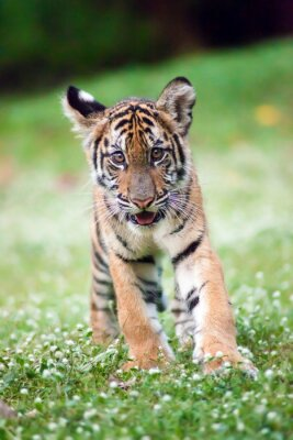 Canvas print Bengal baby tiger is walking across a meadow.