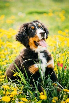 Canvas print Bernese Mountain Dog or Berner Sennenhund Puppy Sitting In Green