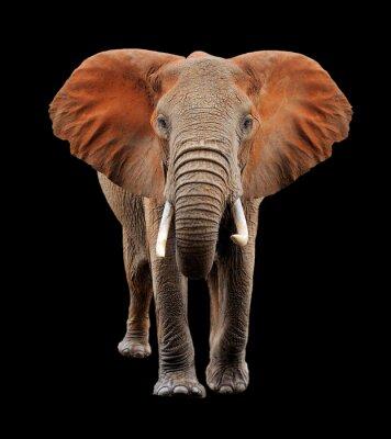 Canvas print Big elephant on black background