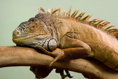 Canvas print Big lizard sleeping on the branch close-up, isolated background