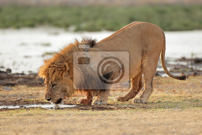 Big male African lion (Panthera leo) drinking water, Etosha National Park, Namibia.