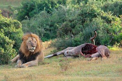 Big male African lion (Panthera leo) guarding the carcass of a kudu antelope, South Africa .