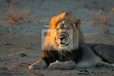 Big male African lion (Panthera leo) in early morning light, Kalahari desert, South Africa.