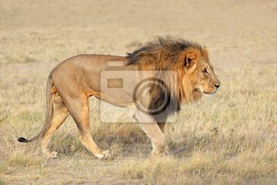 Big male African lion (Panthera leo) in natural habitat, Etosha National Park, Namibia.